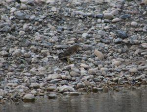 Şırnak'ta soyu azalan Bayağı Balaban kuşu görüntülendi