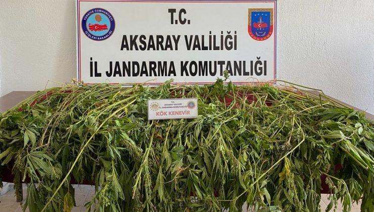 Aksaray'da 225 kök kenevir bitkisi ele geçirildi