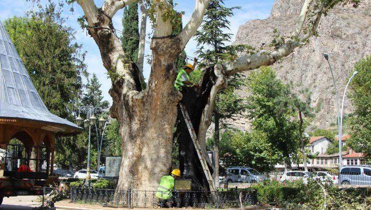 Amasya'daki 535 yıllık ikiz çınarlara bakım ve restorasyon yapıldı