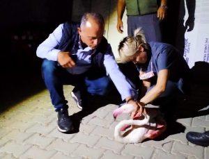 Çanakkale'de yorgun düşen flamingo tedavi altına alındı
