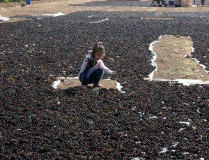 Kilis karası üzümünde hasat sona erdi