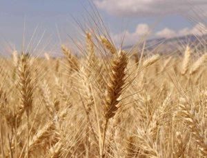 Büyükşehir Belediyesinden çiftçiye hibe buğday tohumu desteği