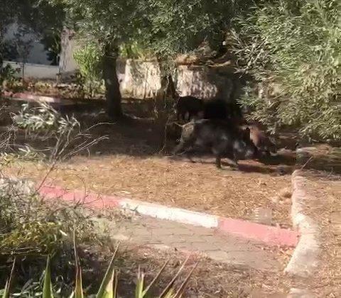 Kazdağları'na aç kalan domuzlar şehre indi, o ânlar kameralara yansıdı